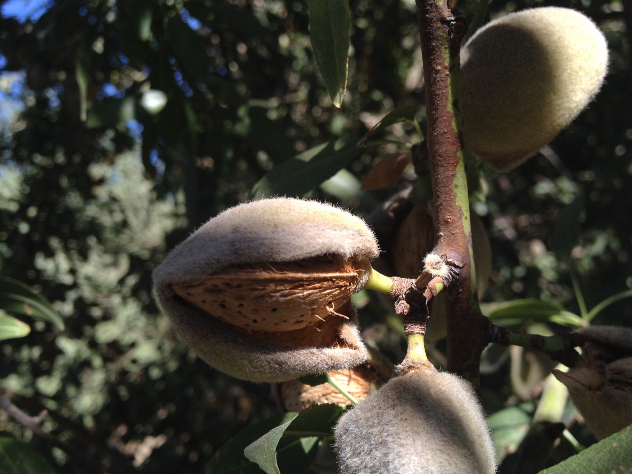 Who knew this is how almonds grow?